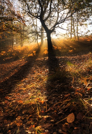 dreary: Beautiful forest landscape of foggy misty forest in Autumn Fall with bright sunbeams