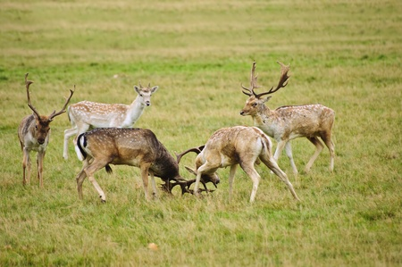 jousting: Grroup of fallow deer stags fighting in Autumn Fall Stock Photo