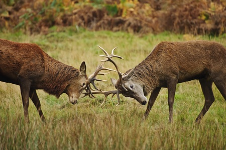 hjort: Jousting fighting red deer stags clashing antlers in Autumn Fall forest meadow Stockfoto