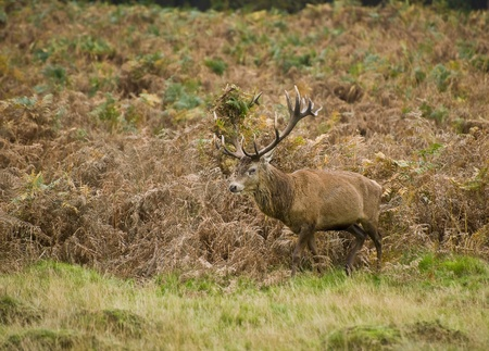 Portrait of majestic powerful adult red deer stag in Autumn Fall forest photo