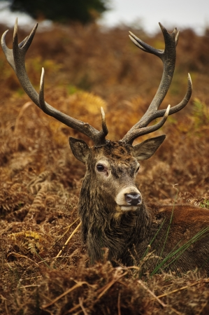 jousting: Portrait of majestic powerful adult red deer stag in Autumn Fall forest