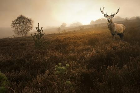 venado: Paisaje hermoso bosque de bosque de niebla niebla en el oto�o de oto�o con magn�fico ciervo ciervo rojo Foto de archivo