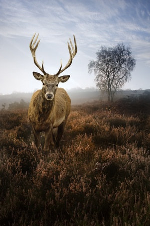 Beautiful forest landscape of foggy misty forest in Autumn Fall with beautiful red deer stag Stock Photo