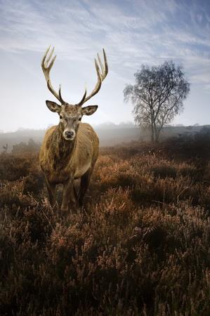 ciervo: Paisaje hermoso bosque de bosque de niebla niebla en el oto�o de oto�o con magn�fico ciervo ciervo rojo Foto de archivo