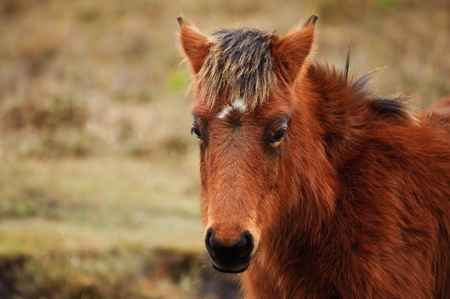 Close up of wild New Forest pony in Winter photo
