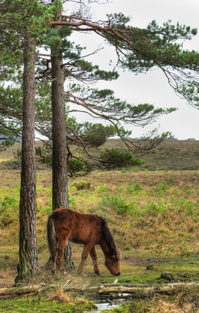 Wild pony at edge of stream in forest during Winter Autumn Fall photo