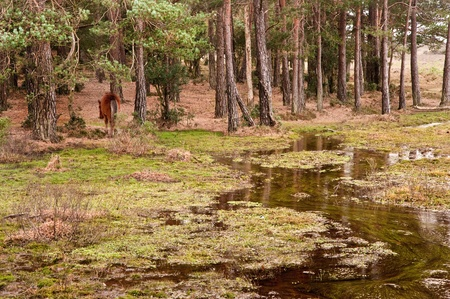 Flooded forest landscape with wild New Forest pony at edge of trees photo