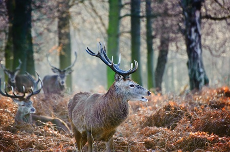 Portrait of red deer stag in forest landscape scene in Autumn Fall Winter setting photo