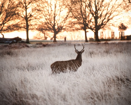 Red deer stag looks into rising sun through trees on horizon on frosty Winter morning photo