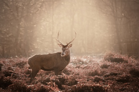 Red deer stag in Winter forest landscape photo