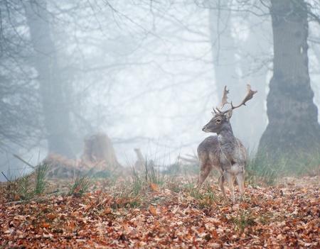 Landschap van bos in mist tijdens de winter Autumn Fall met damherten roaming- Stockfoto