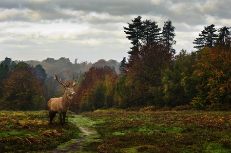 Red deer wildlife in forest landscape with vibrant Autumn Fall season colors photo