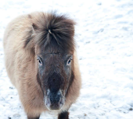 shetland pony: Lovely image of Shetland pony ponies in snow covered field in Winter Stock Photo