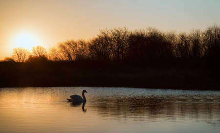 Moody image of single swan on calm lake during Winter sunrise photo