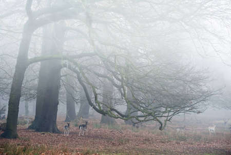 Landscape of forest in fog during Winter Autumn Fall with fallow deer roaming photo