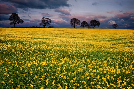 Landscape at sunset of rapeseed field with moody stormy sky overhead Stock Photo - 13102100
