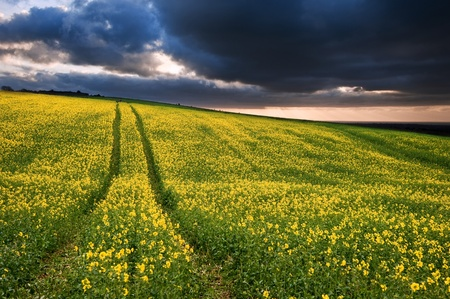 Landscape at sunset of rapeseed field with moody stormy sky overhead photo