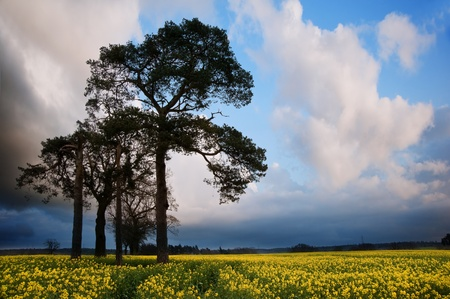 Landscape at sunset of rapeseed field with moody stormy sky overhead Stock Photo - 13102055