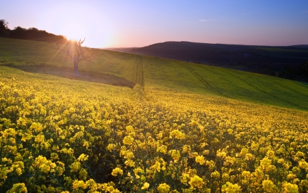 Beautiful sunrise over field of rapeseed in countryside in Spring photo
