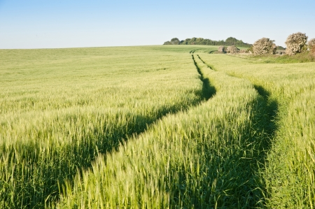 New field of wheat in countryside rural landscape photo