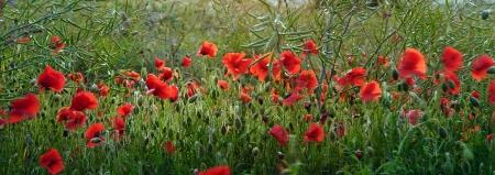 Landscape of poppy field in Summer evening Stock Photo - 14115322