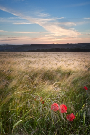 Landscape of poppy field in Summer evening Stock Photo - 14115337