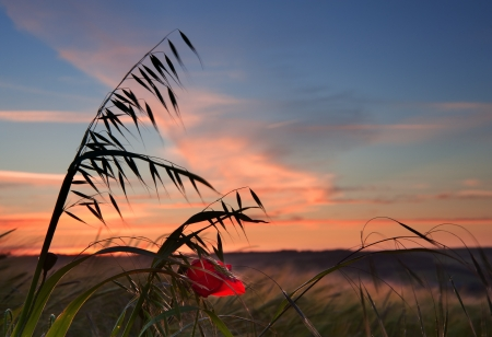 Landscape of poppy field in Summer evening photo