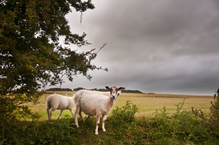 Sheep in landscape on stormy Summer day looking for cover from wind Stok Fotoğraf