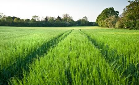 Veld op nieuwe groene tarwe bij zonsondergang in landschap
