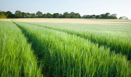 cosecha de trigo: Campo de trigo verde nuevo al atardecer en el paisaje