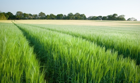 Field on new green wheat at sunset in landscape Stock Photo - 14205370