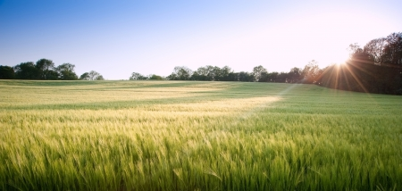 Field on new green wheat at sunset in landscape photo