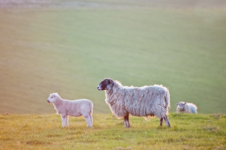 Lamb and mother face sunrise in rural landscape photo
