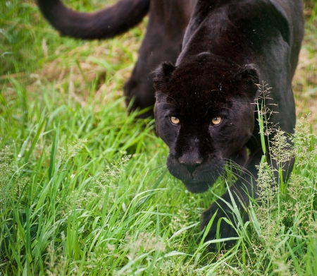 Black jaguar Panthera Onca prowling through long grass in captivity