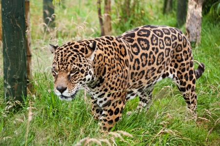 Stunning portrait of jaguar big cat Panthera Onca prowling through long grass in captivity