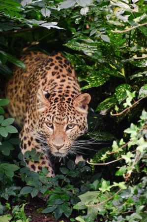 Beautiful portrait of leopard Panthera Pardus big cat amongst foliage in captivity photo