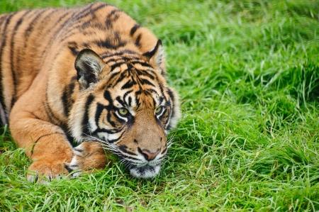 sumatran tiger: Ritratto di tigre di Sumatra cat Panthera Tigris Sumatrae big in cattivit�