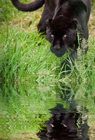 Black jaguar Panthera Onca prowling through long grass in captivity reflected in calm water photo