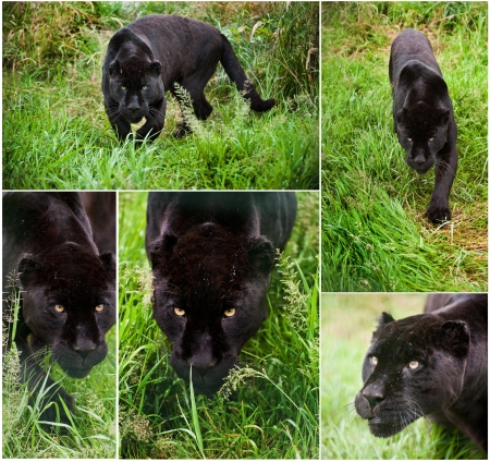 Collection of images of black jaguar big cat Panthera Onca in captivity photo