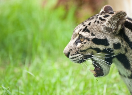 Clouded leopard Neofelis Nebulova big cat in captivity photo