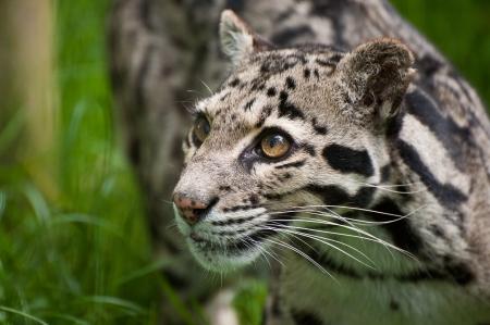 clouded: Clouded leopard Neofelis Nebulova big cat in captivity Stock Photo