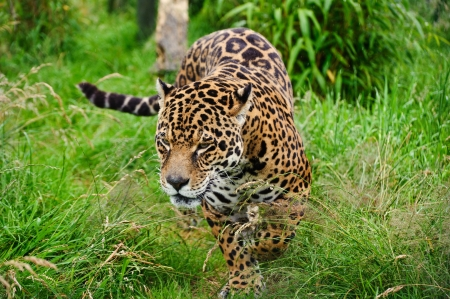 Stunning portrait of jaguar big cat Panthera Onca prowling through long grass in captivity photo