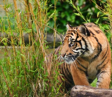 sumatran tiger: Ritratto di tigre di Sumatra gatto Panthera Tigris Sumatrae grande in cattivit�