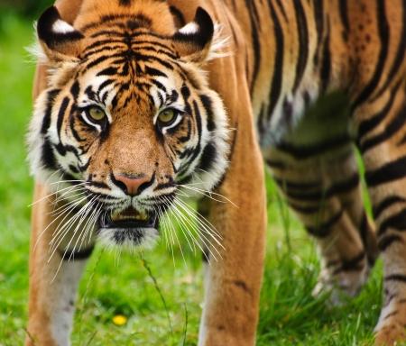 sumatran: Portrait of Sumatran Tiger Panthera Tigris Sumatrae big cat in captivity
