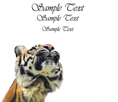 sumatran tiger: Ritratto di tigre di Sumatra cat Panthera Tigris Sumatrae grande in cattivit� esaminando vuota copyspace bianco
