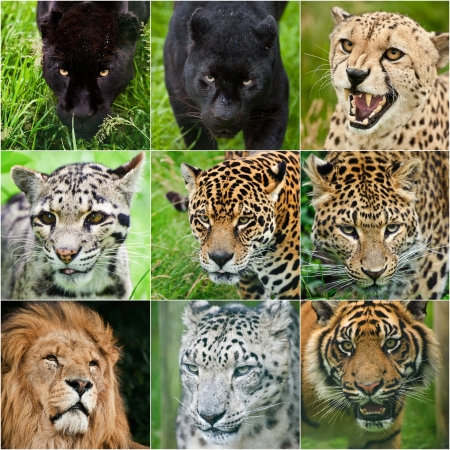 Collection of portraits of all big cats black leopard, black jaguar, cheetah, clouded leopard, jaguar, leopard, lion, snow leopard, tiger in captivity