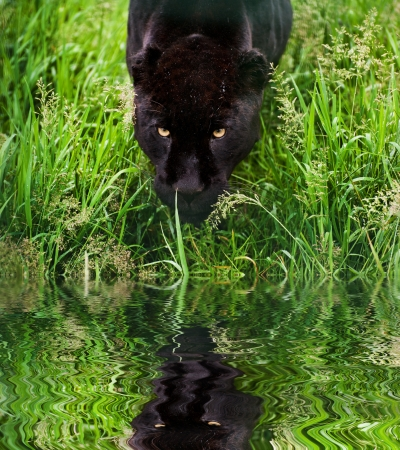 onca: Black jaguar Panthera Onca prowling through long grass in captivity reflected in calm water