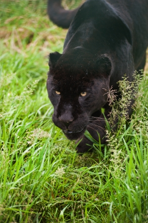 Black jaguar Panthera Onca prowling through long grass in captivity photo