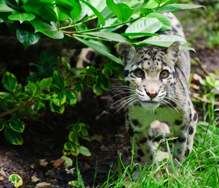 Clouded leopard Neofelis Nebulova big cat in captivity Stock Photo - 14753020
