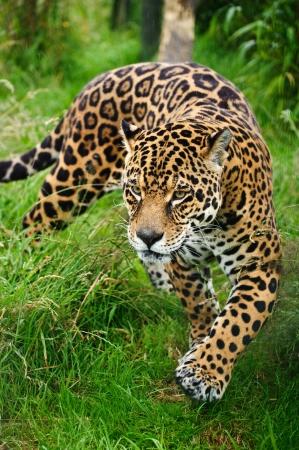 jaguar: Impresionante retrato de gato grande jaguar Panthera Onca rondando trav�s de c�sped largo en cautiverio